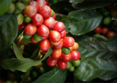 Assagay Coffee Farm Tours